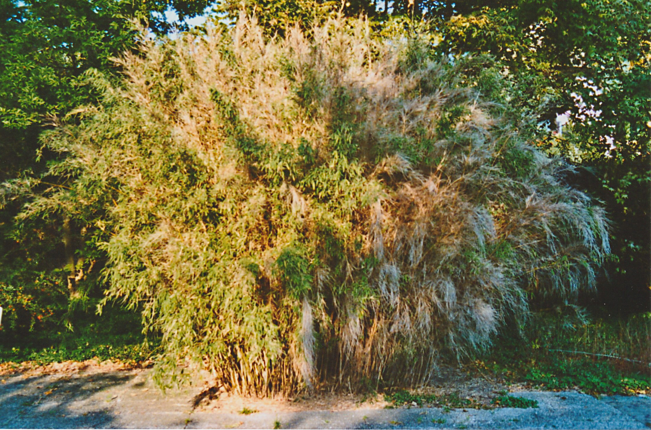 1995 Bambusblüte